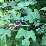 New Jersey Invasive Plants